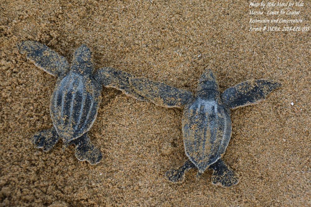 Proyecto de Tortugas Marinas del Área Oeste (PTMAO) , Aguadilla. Foto: Mike Morel